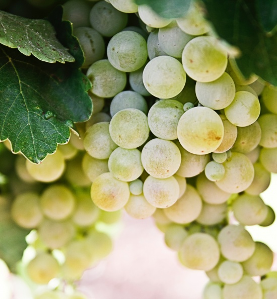 Sauvignon Grapes
