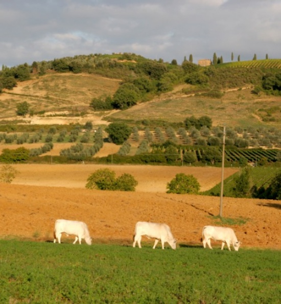 Ghiaccio Forte land with cows
